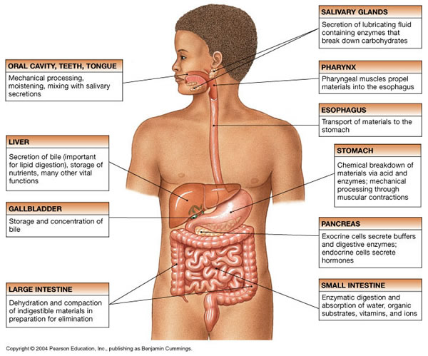 where is human liver located diagram 1 phase motor wiring digestive system - wayne sparkshealth science academy senior2011-2014