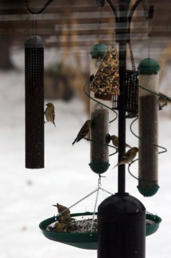 Massed Goldfinch activity at feeder 31
