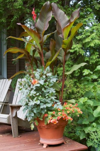 Canna Lily in Whychwood pot