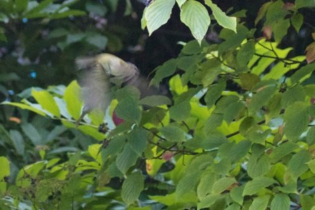 That blur is a Red-eyed Vireo trying to catch insects