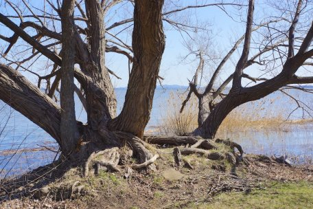 Gnarly old tree roots on the river bank