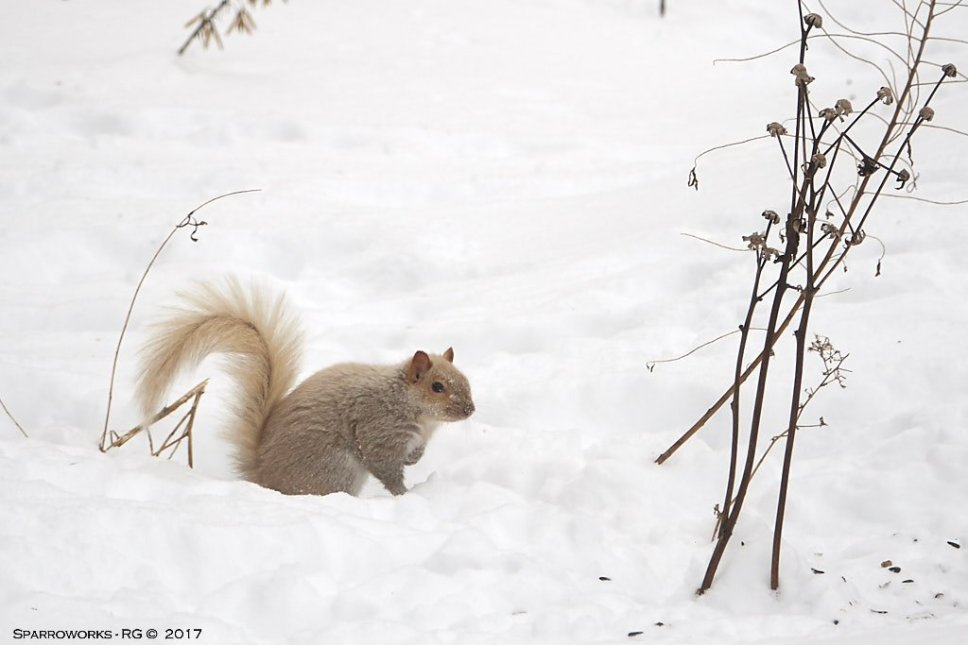 "The ""strawberry-blonde"" grey squirrel"