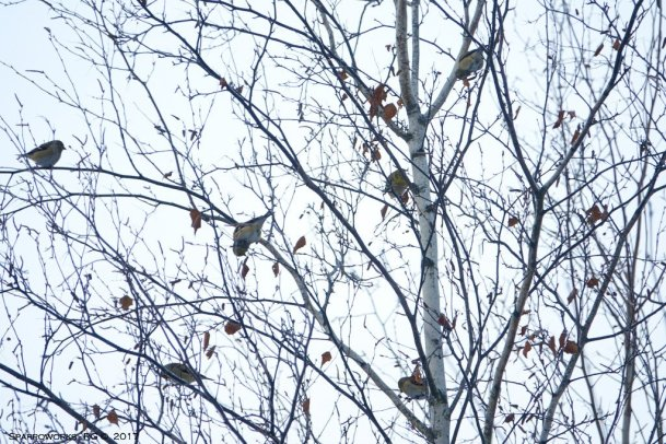 Flock of American Goldfiches in a birch tree