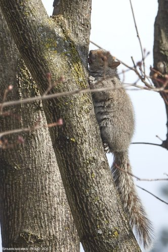 Squirrel licking the maple sugar sap from the bark
