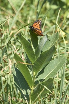 Monarch buttherfly on common milkweed