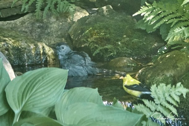 Gray Catbird bathing under the gaze of an American Goldfinch