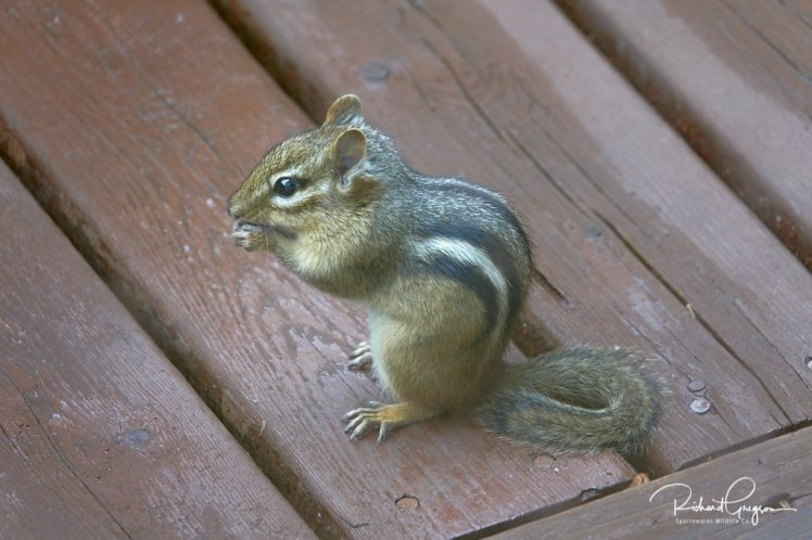 Chipmunk at dinner