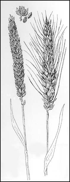Grain Crops : (Y14) INF