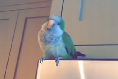 Papagei lacht dich aus