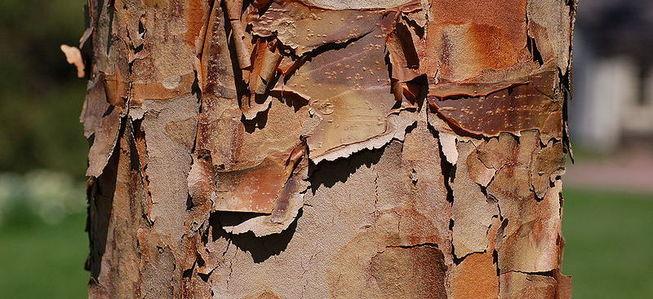 scaly bark