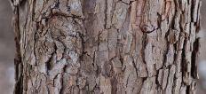 fissured bark