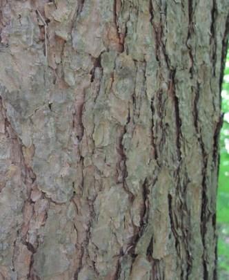 Pinus sylvestris bark https://upload.wikimedia.org/wikipedia/commons/7/7b/Pinus_sylvestris-bark.jpg