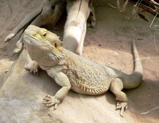 The bearded dragon with a lighter color to reflect heat