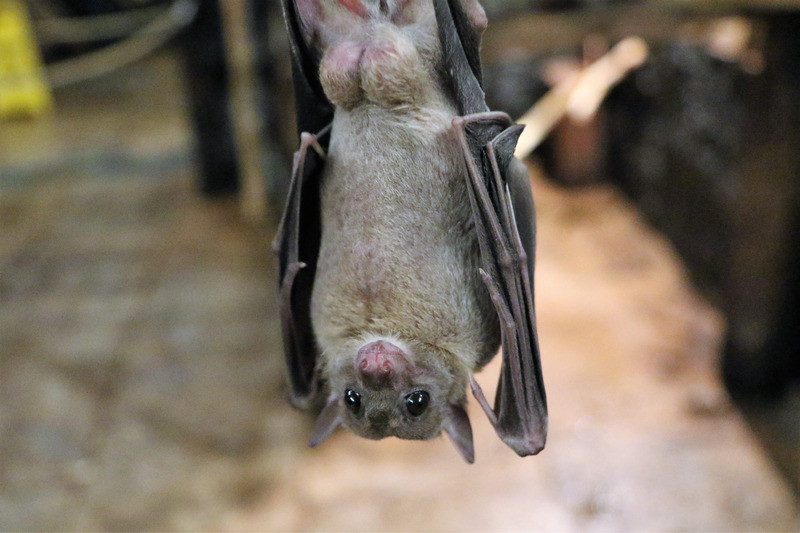 Why Bat Droppings are Dangerous - Plano Cleanup