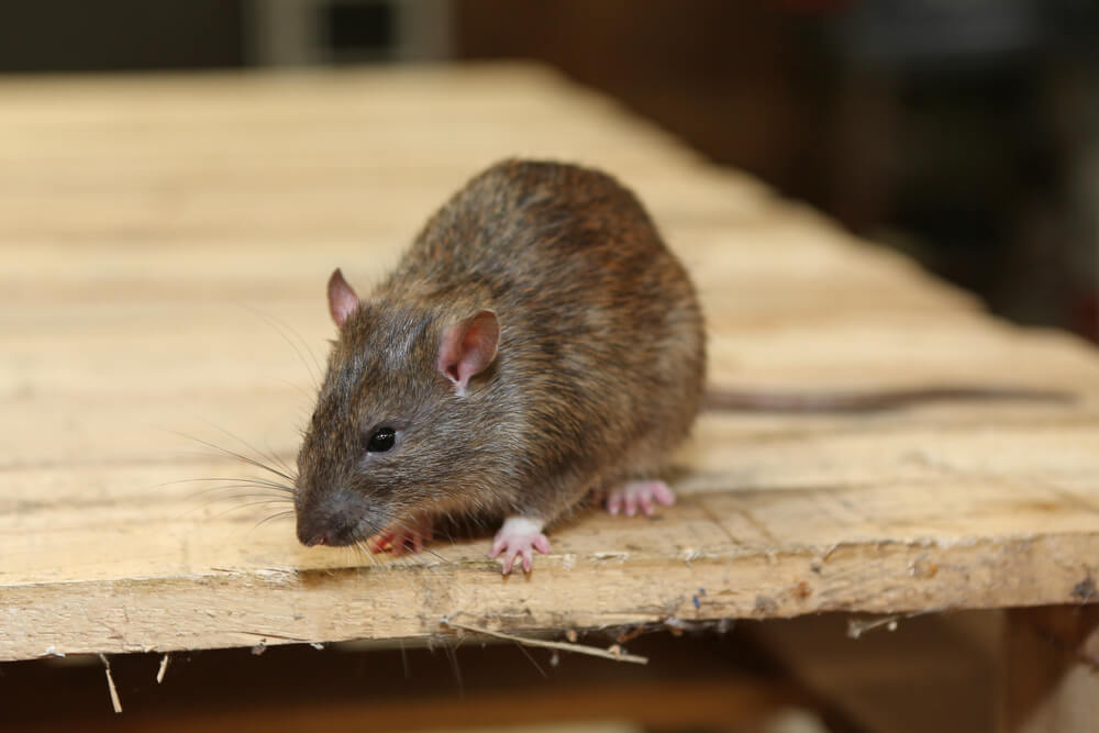 Real Health Risks Posed By Mice and Rat Infestations | Spaulding Decon