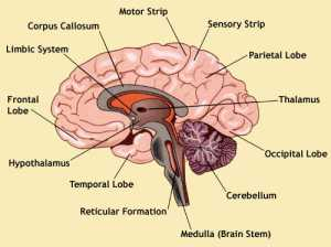 lower brain diagram mach 460 wiring sandra beasley and the spaz rats using a of human to explain how reptilian functions as compared mammalian