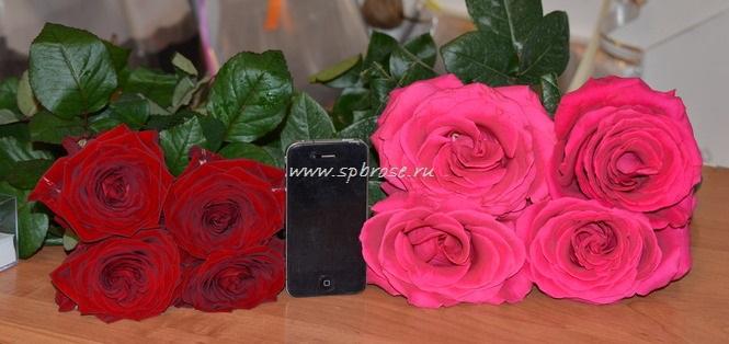 Отличие голландских и эквадорских роз