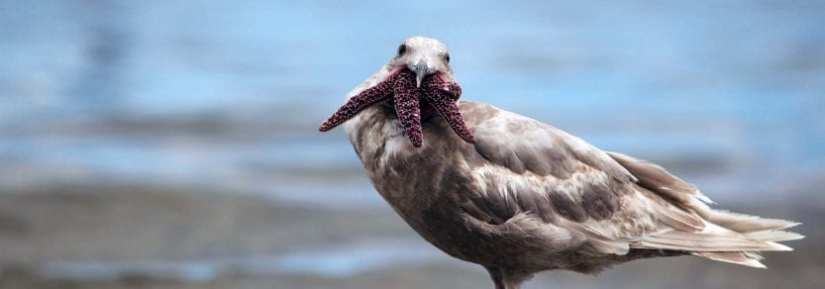 Wild gull on beach with sea star in mouth