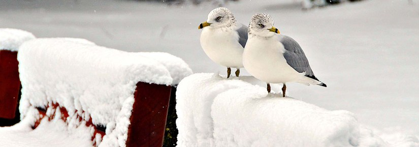 Two wild sea gulls in the snow standing on top of benches