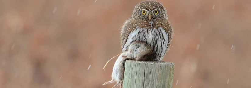 Wild northern pygmy owl hunting in snowy weather sitting on a wood post with a dead prey