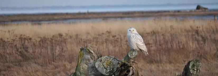 Wild snowy owl near water sitting on log