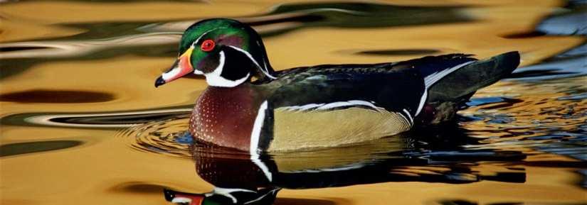 Wild wood duck bird swimming with reflection orange sky