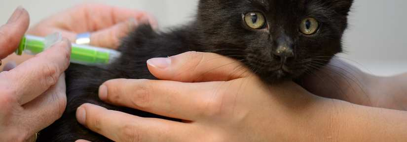 Cute black kitten getting a vaccination at the vet