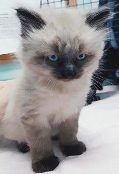 Free Kittens Kansas City Area : kittens, kansas, Urges, Comox, Courtenay, Residents, Fixed, Before, Program