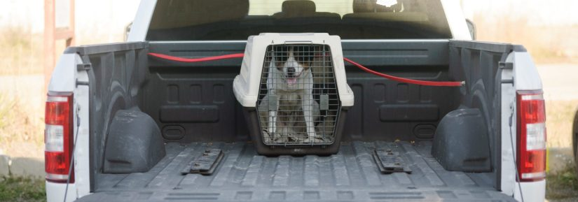 Happy dog restrained in crate in the back of a truck