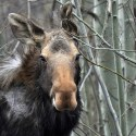 Close up shot of wild moose standing around thin trees