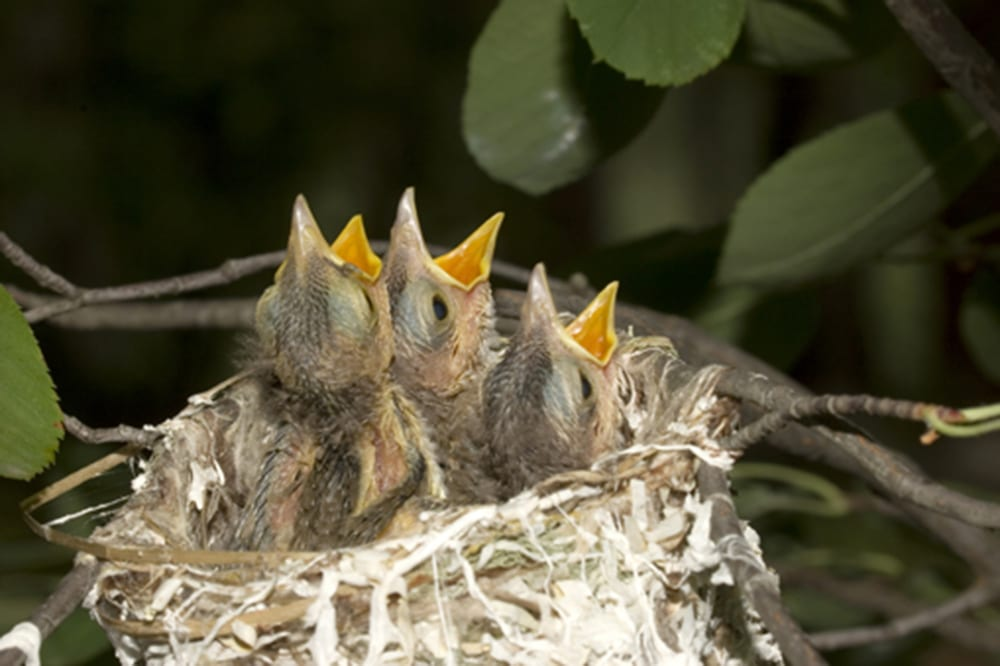 Baby Birds To Help Or Not To Help