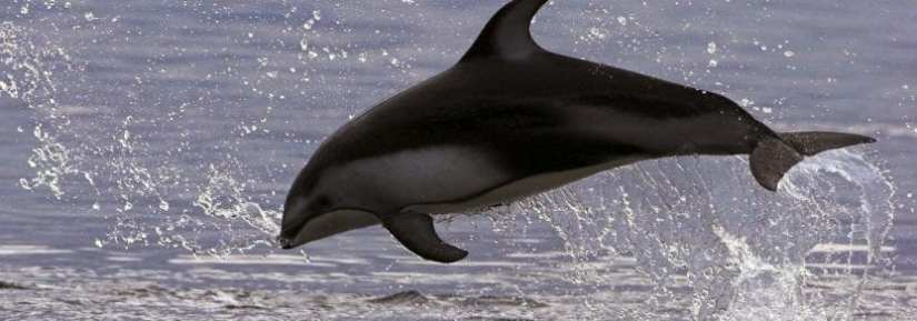 Wild pacific white sided dolphin jumping out of ocean