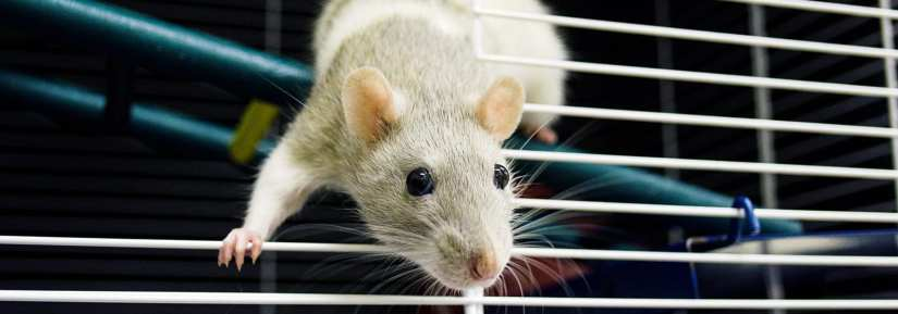 Cute rat climbing over bars of cage