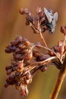 Juncus effusus and Fly