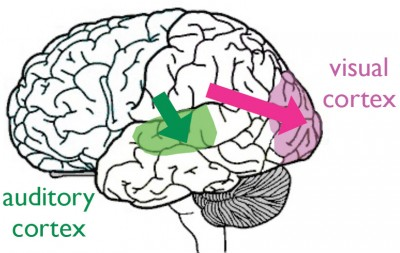 visual and auditory pathways