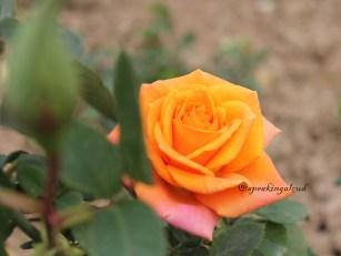Chandigarh Rose Garden Rose Images