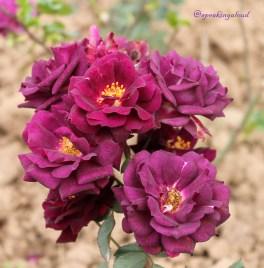 Chandigarh Rose Garden Images