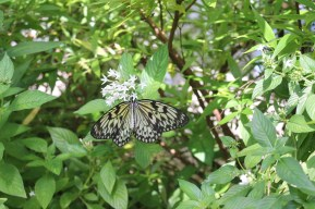 The most difficult photo to capture, this butterfly could not find stability on the leaf.