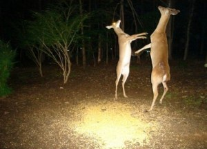 The paparazzi caught these deer dancing like no one was watching.