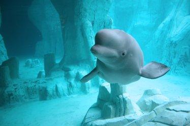 whale beluga wallpapers underwater cute whales baby leucas delphinapterus hd belugas smiling sea ice speakzeasy heart creatures rate
