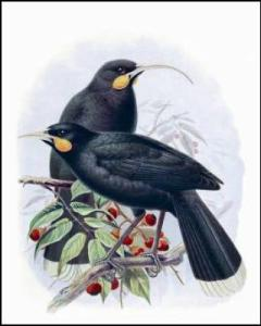Buller's picture of Huia