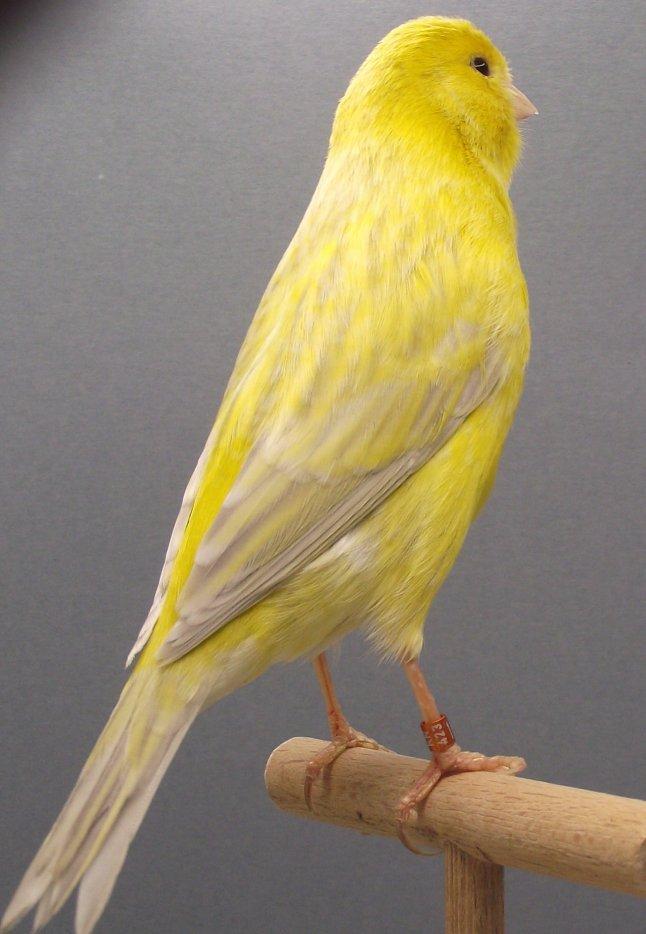 agaatopaal-geel-schimmel