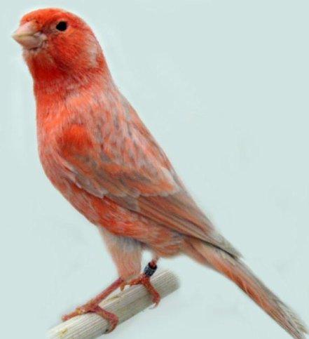 agaatopaal-rood-schimmel