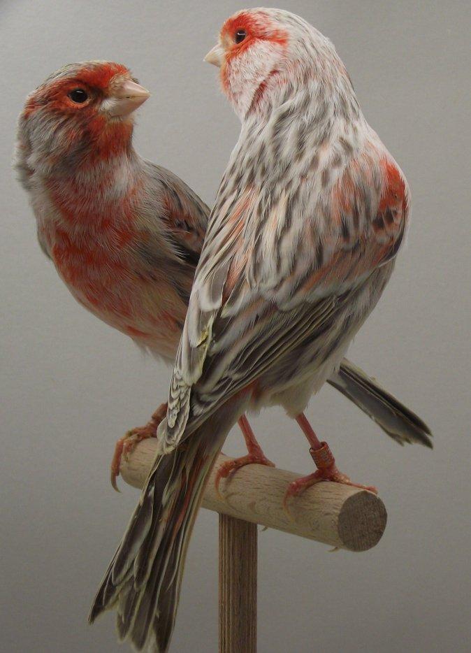 agaattopaas-rood-mozaiek-type-2