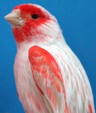 isabelpastel-rood-mozaiek-type-2