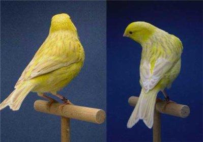 satinet-geel-schimmel