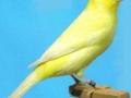 geel-schimmel