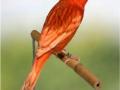 phaeo-rood-schimmel