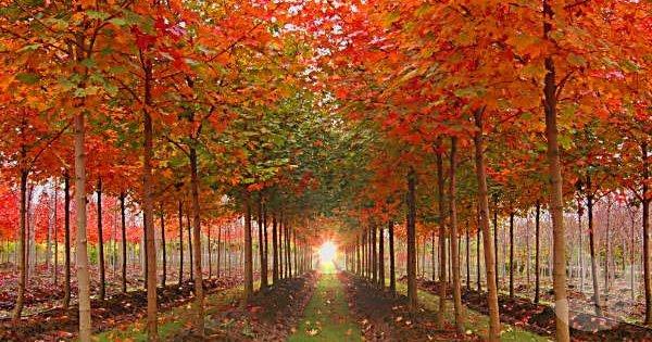 Fall Colors Computer Wallpaper Acer Truncatum X Platanoides Warrenred Pacific Sunset