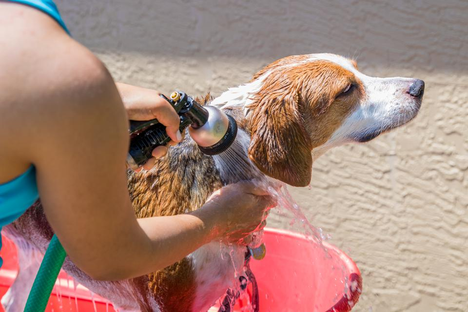 Beagle mix hound getting rinsed of soap from a bath